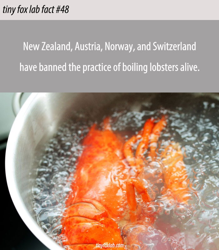 Boiling Live Lobster Illegal
