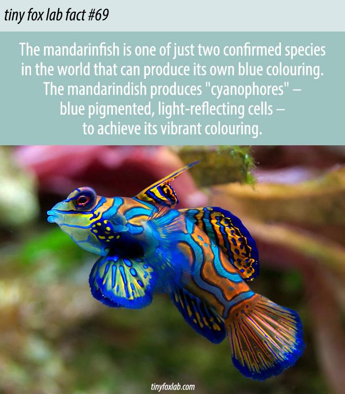 Mandarinfish Produces Blue Pigment