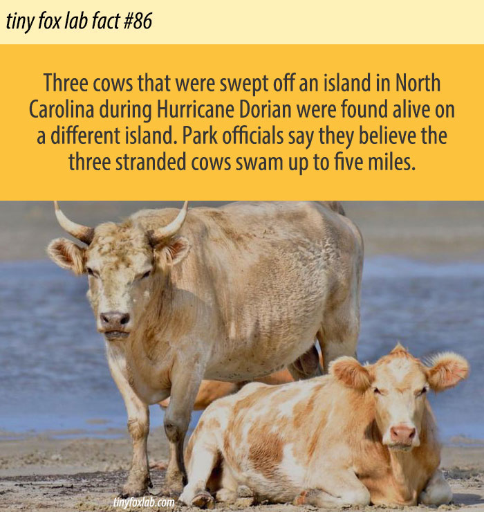 Stranded Cows