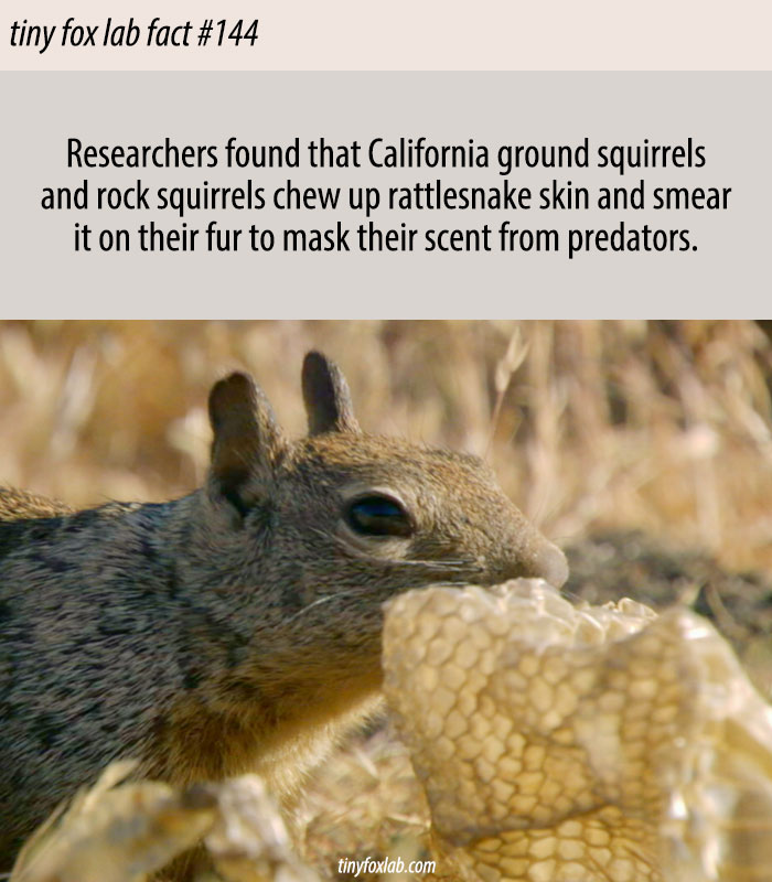 Squirrels Use Snake Skins to Mask Their Scent from Predators