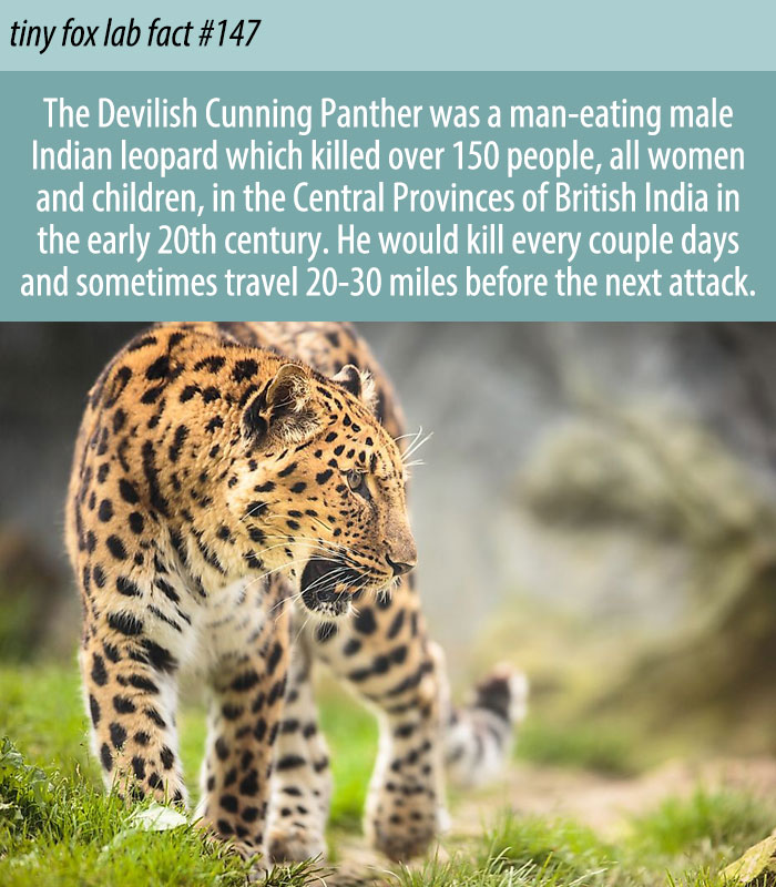 Leopard of the Central Provinces