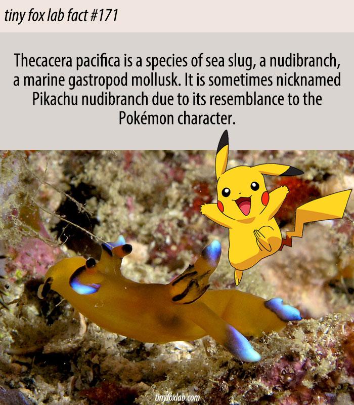 Pikachu Nudibranch Sea Slug