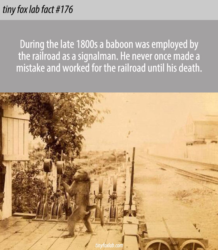 A Baboon Worked for the Railroad