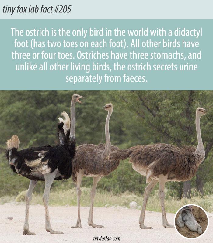 Ostriches Are Pretty Unique Birds