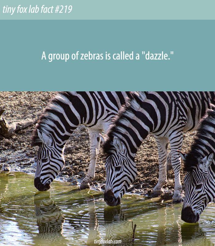 Dazzle of Zebras