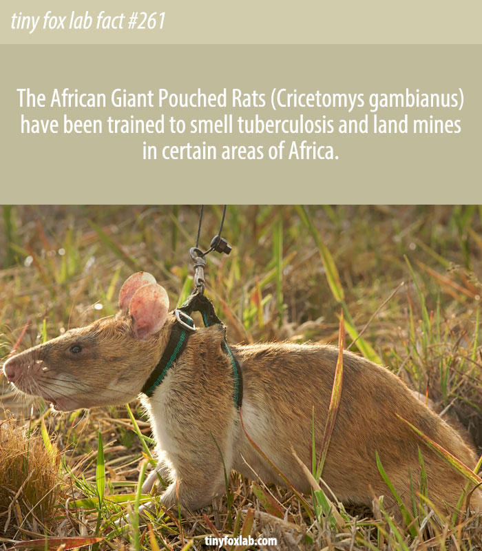 African Giant Pouched Rat (Cricetomys gambianus)