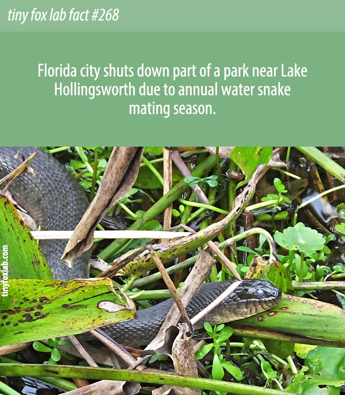 Florida city shuts down part of a park near Lake Hollingsworth due to annual water snake mating season.