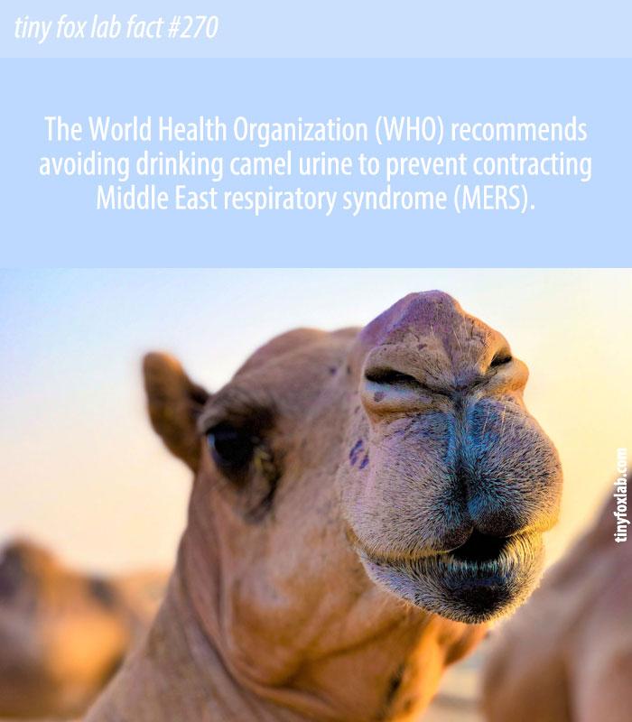 Stop Drinking Camel Urine