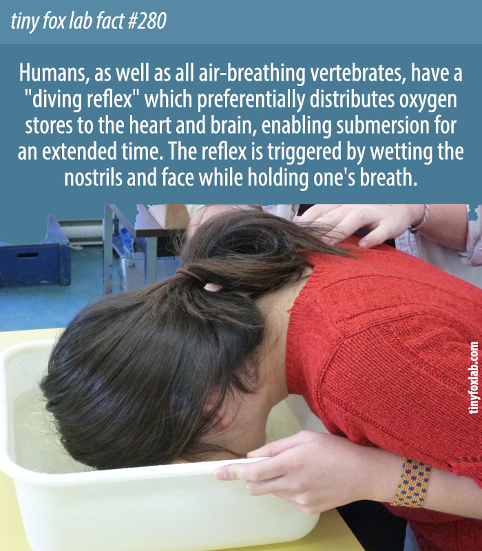 The diving reflex is a clever physiological mechanism enabling the body to manage and tolerate a lower level of oxygen.