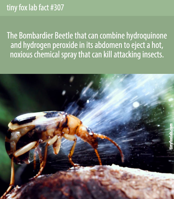 Bombardier beetles who shoot boiling chemicals at predators by having internal explosions from mixing 2 chemicals.