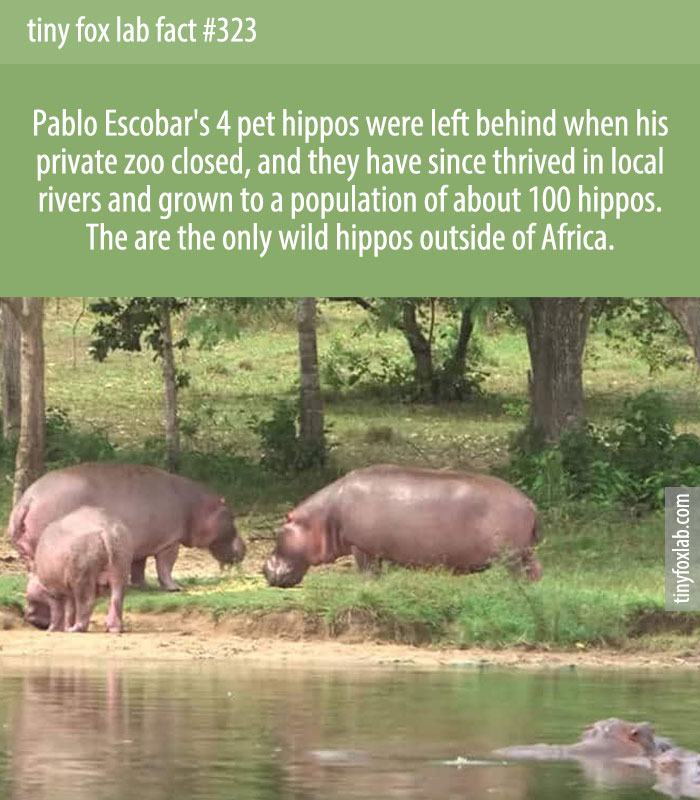 Escobar's pet hippos were left behind when his private zoo closed, and they've flourished in the decades after his death.