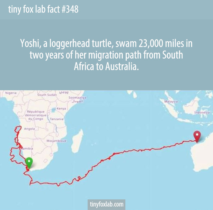 Yoshi, a loggerhead turtle, swam 23,000 miles in two years of her migration path from South Africa to Australia.