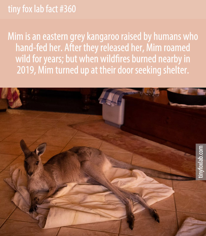 Mim, an eastern grey kangaroo raised by a family who hand-fed her. After they released her, Mim roamed wild for years