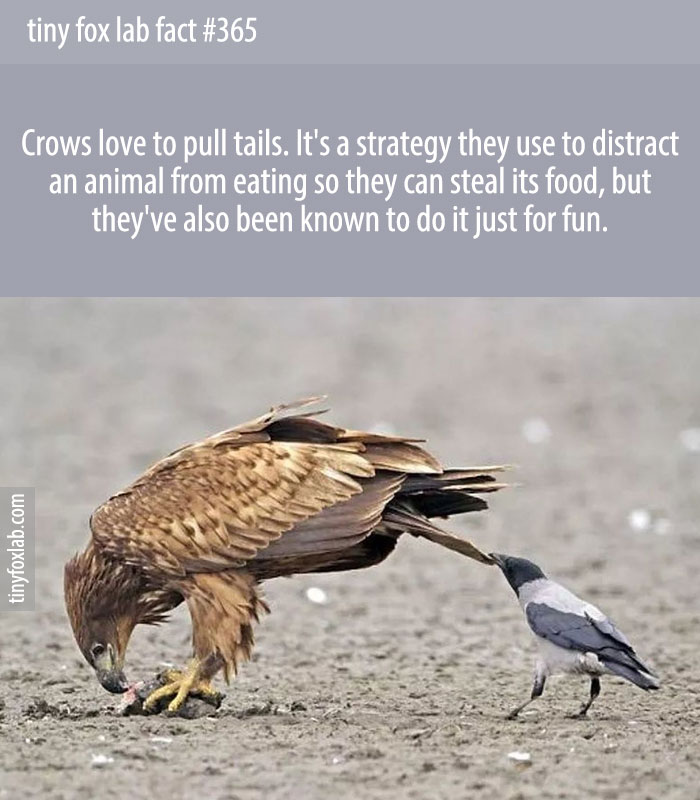 Crows love to pull tails. It's a strategy they use to distract an animal from eating so they can steal its food, but they've also been known to do it just for fun.