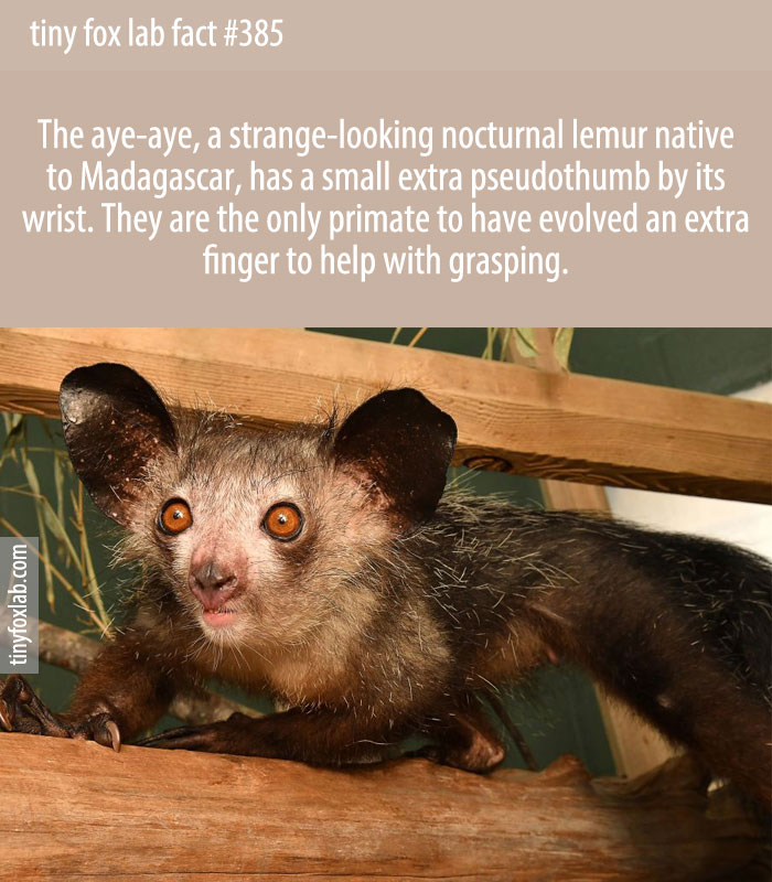 There's a little extra thumb-thing on the hand of the aye-aye, a strange-looking nocturnal lemur native to Madagascar.