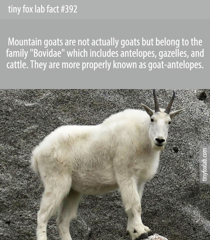 Mountain goats are not actually goats, but members of the Antelope family.