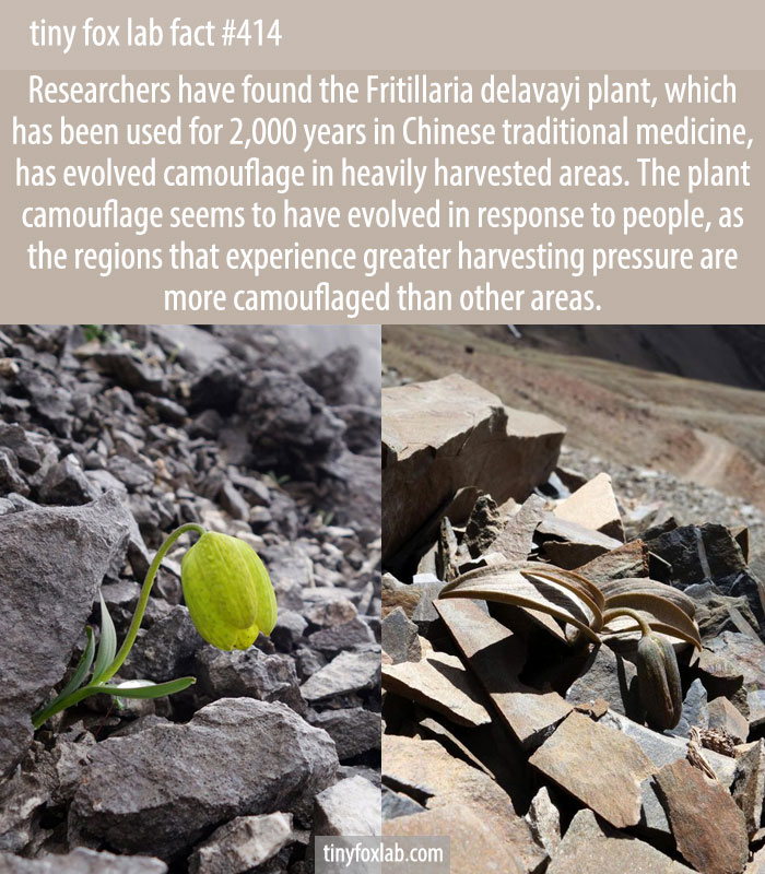 Researchers have found the Fritillaria delavayi plant, which has been used for 2,000 years in Chinese traditional medicine, has evolved camouflage in heavily harvested areas.