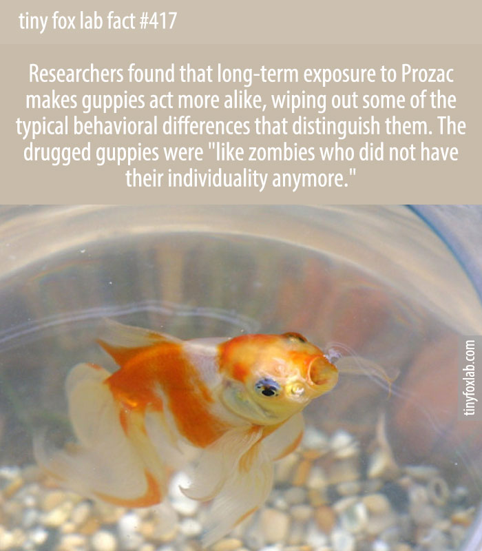 Researchers found that long-term exposure to Prozac makes guppies act more alike, wiping out some of the typical behavioral differences that distinguish them. The drugged guppies were 'like zombies who did not have their individuality anymore.'