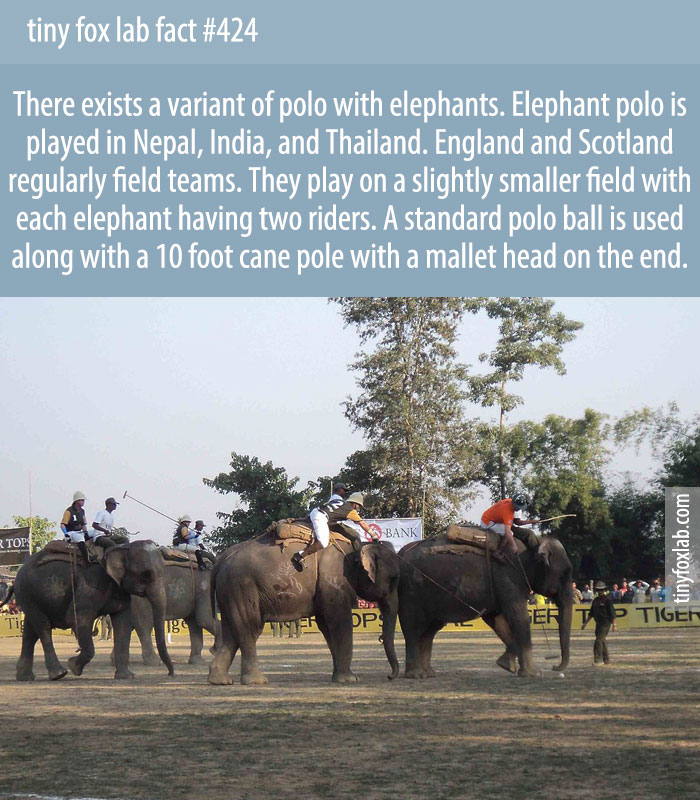 Elephant polo is a variant of polo played while riding elephants. It is played in Nepal, India, and Thailand.