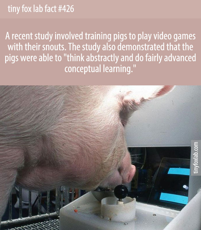 A recent study involved training pigs to play video games with their snouts.