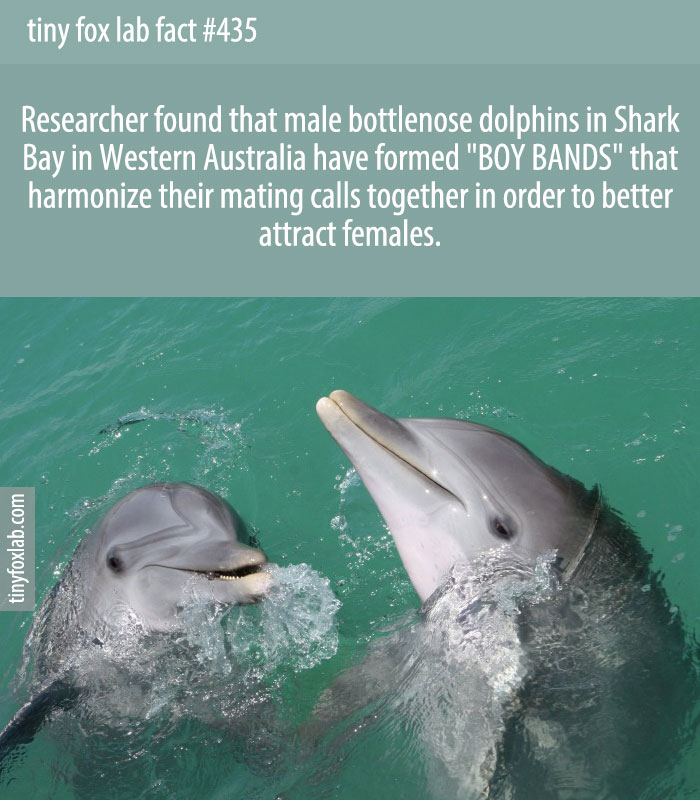 Researcher found that male bottlenose dolphins in Shark Bay in Western Australia have formed 'BOY BANDS' that harmonize their mating calls together in order to better attract females.