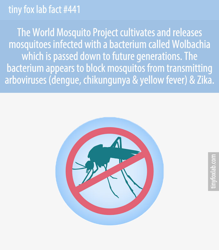 The World Mosquito Project cultivates and releases mosquitoes infected with a bacterium called Wolbachia which is passed down to future generations. The bacterium appears to block mosquitos from transmitting arboviruses (dengue, chikungunya & yellow fever) & Zika.