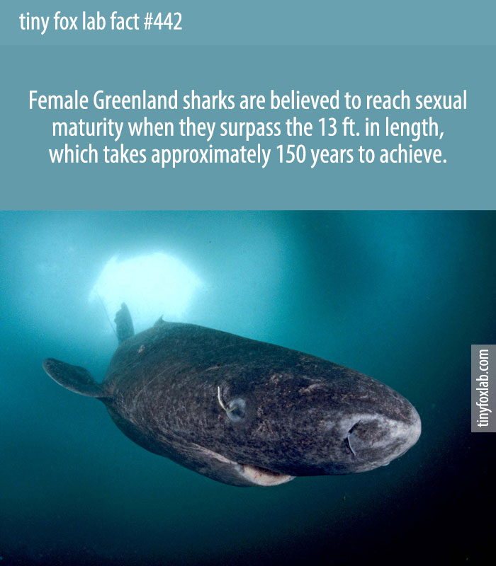 Female Greenland sharks are believed to reach sexual maturity when they surpass the 13 ft. in length, which takes approximately 150 years to achieve.