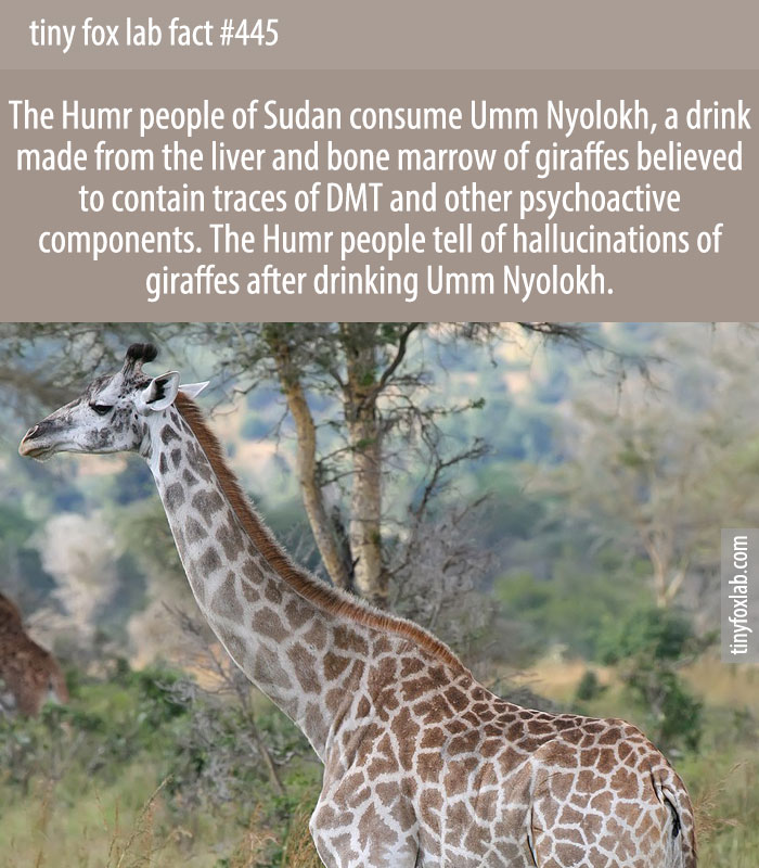 The Humr people of Sudan consume Umm Nyolokh, a drink made from the liver and bone marrow of giraffes believed to contain traces of DMT and other psychoactive components. The Humr people tell of hallucinations of giraffes after drinking Umm Nyolokh.